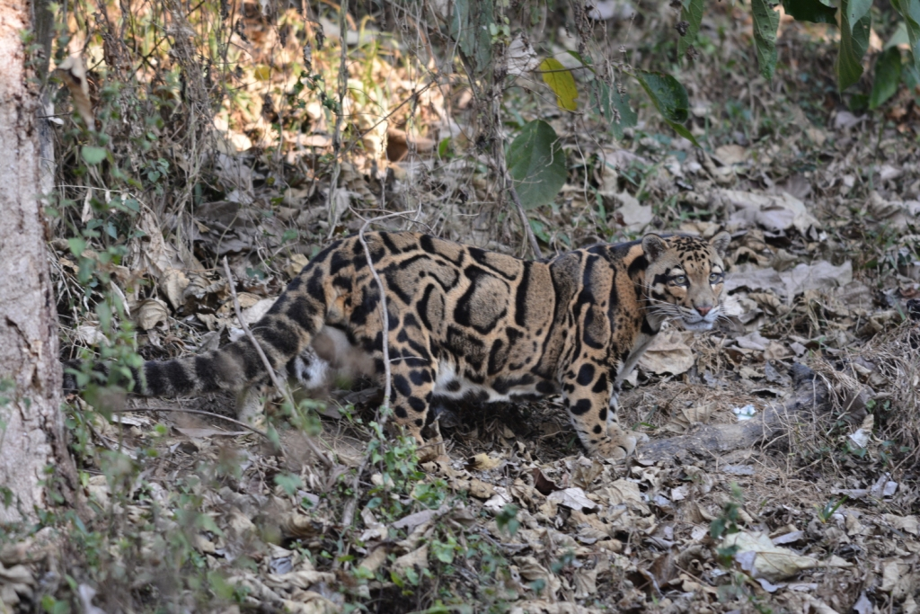 Clouded-Leopard-India
