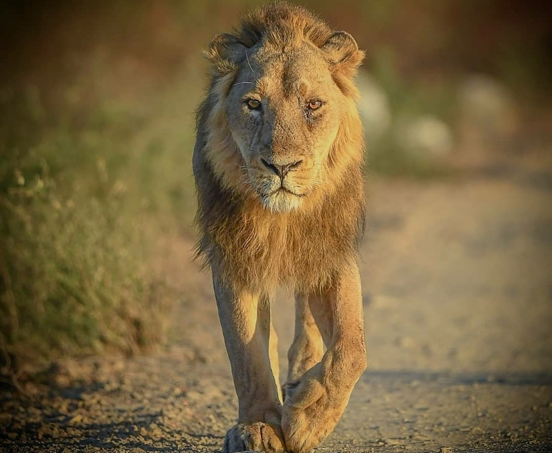 Gir National Park – Asiatic Lion's last natural home