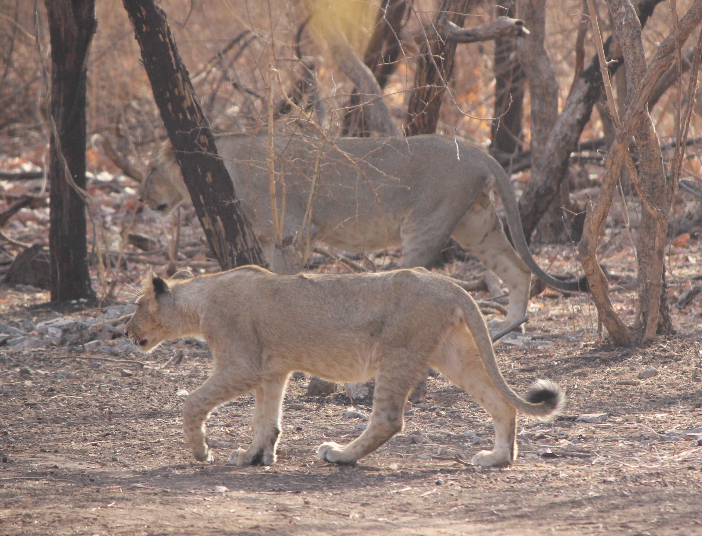 Asiatic Lion India