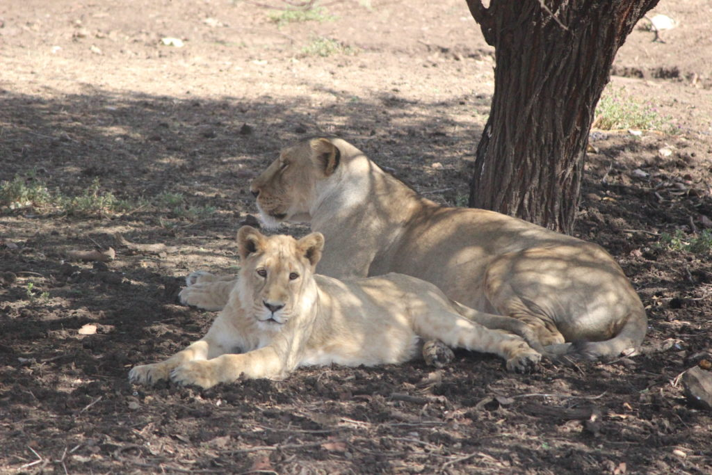 Lions at Devalia Safari Park