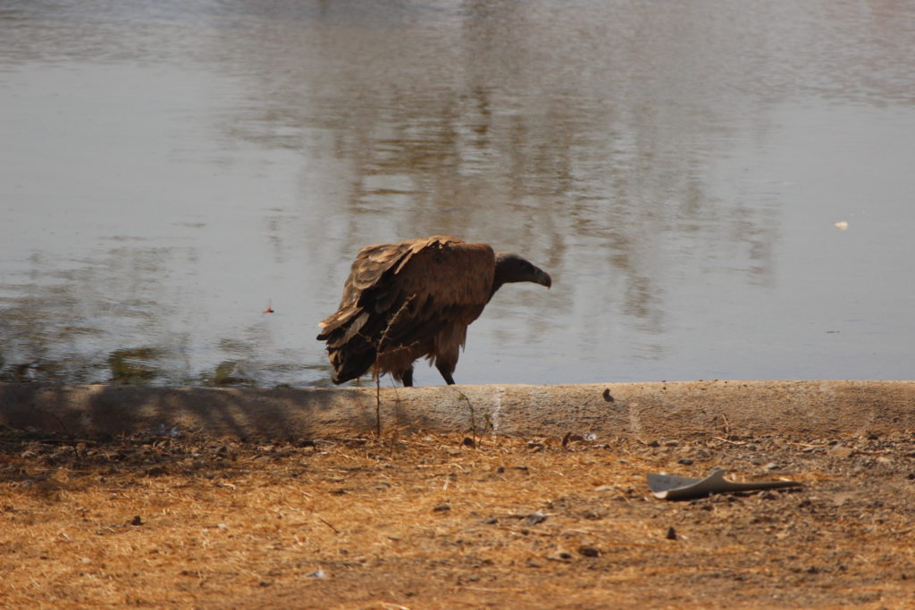 Indian Vulture at Devalia Safari Park