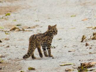 Leopard Cat India