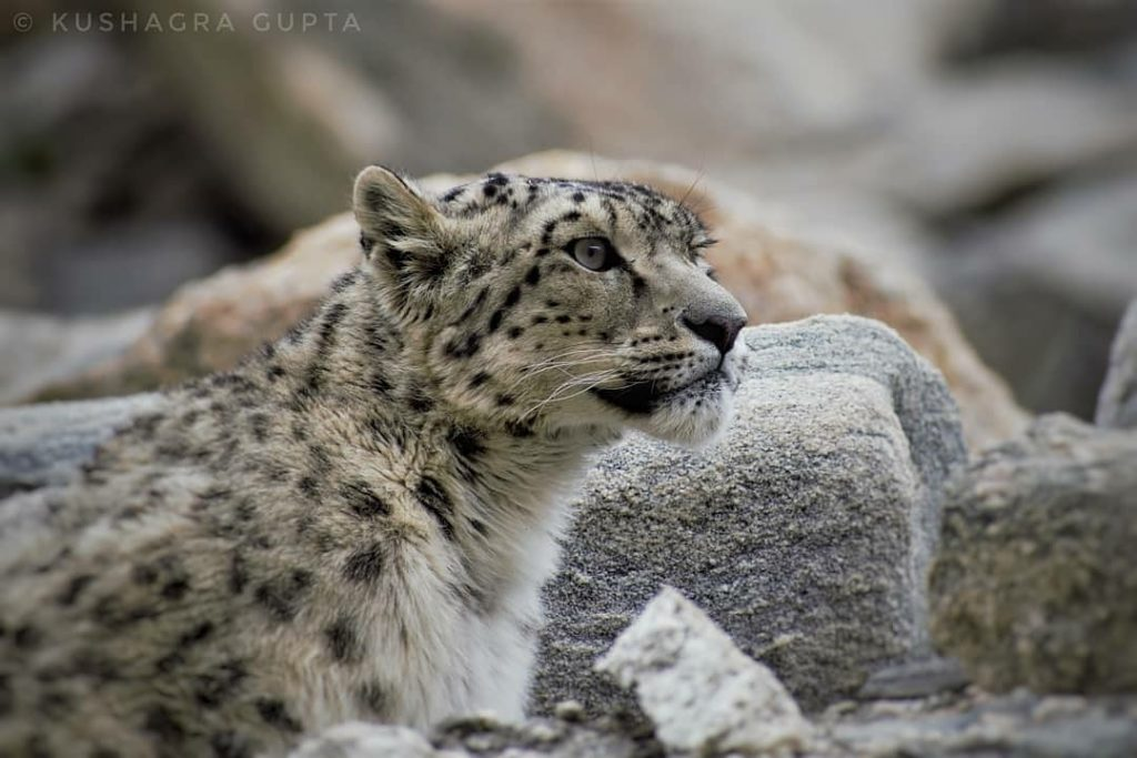 Snow Leopard Big Cat