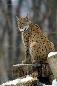 The Lynx Cat India