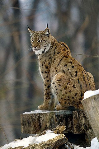 Top 14 Big Cat Species In India Popular Biggest Wild Cats Fact