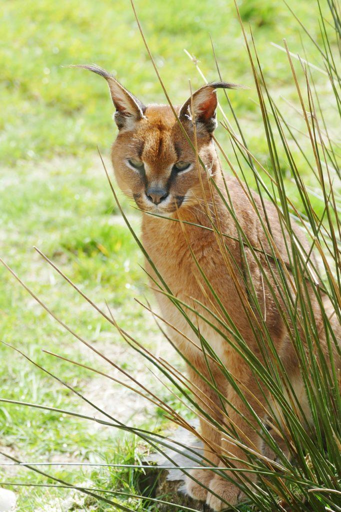 Caracal Cat India