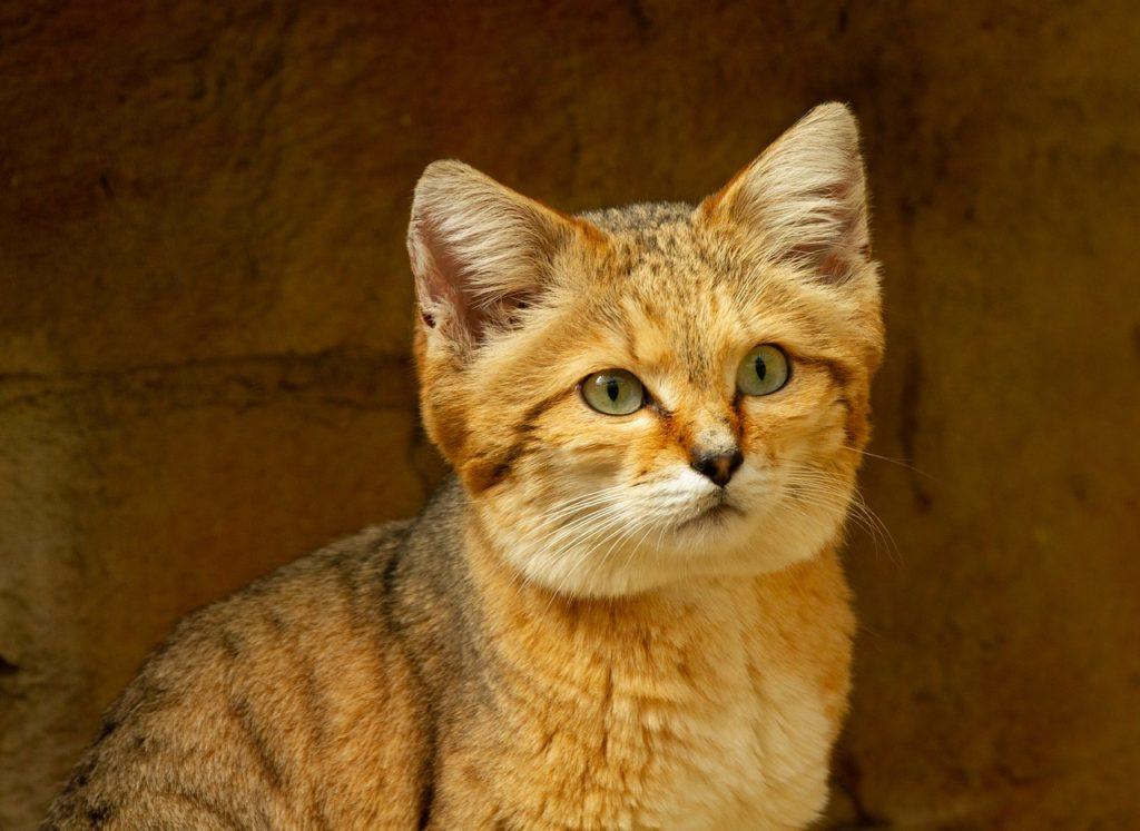 Wild desert cat