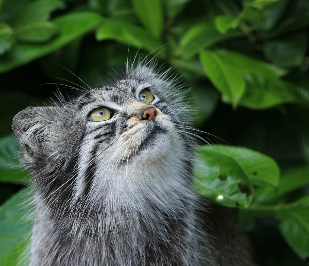 Pallas Cat, Beautiful Wild Cat Species