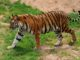 Tiger Census in India