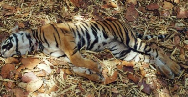 Maharashtra lost 7 Tigers in 48 Hours