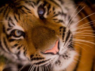 tiger news january 2018