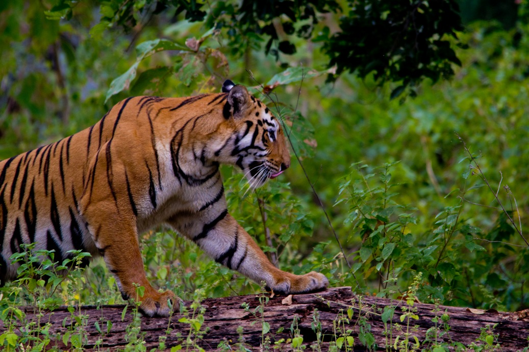 Must visit Tiger Reserves in Maharashtra