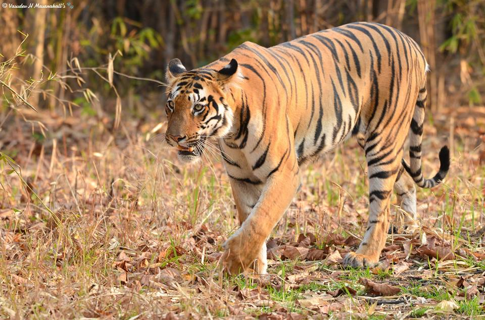 Tadoba : Court to order stay on the system of VIP entry