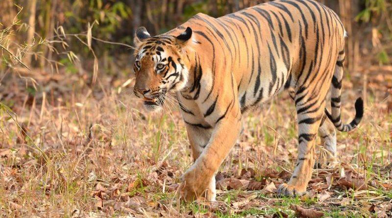Tadoba Andheri Tiger Reserve