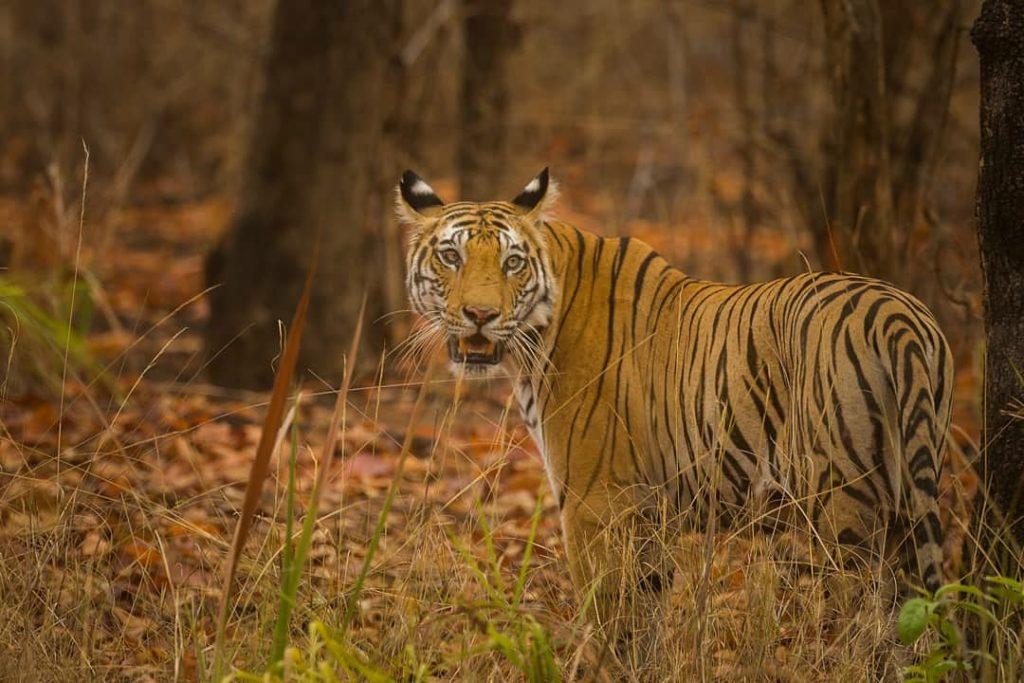 Tiger Safari Bandhavgarh