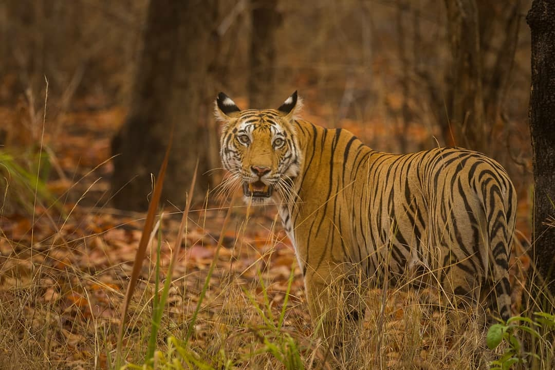 Tiger Safari Bandhavgarh