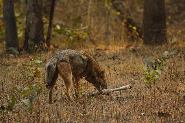 Wildlife at Pench Tiger Reserve