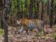The Royal Bengal Tiger - India