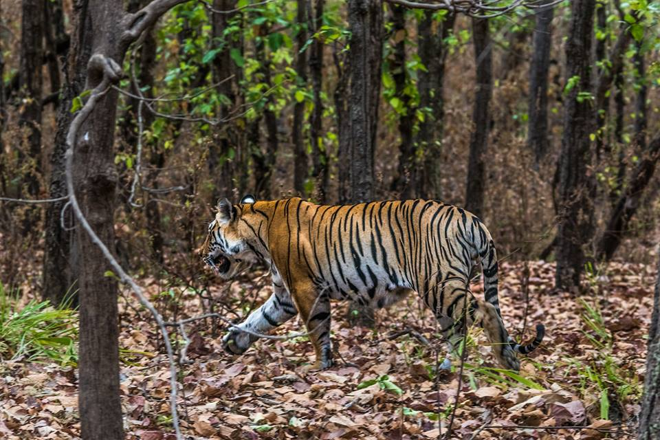 Top Tiger Reserves in Madhya Pradesh