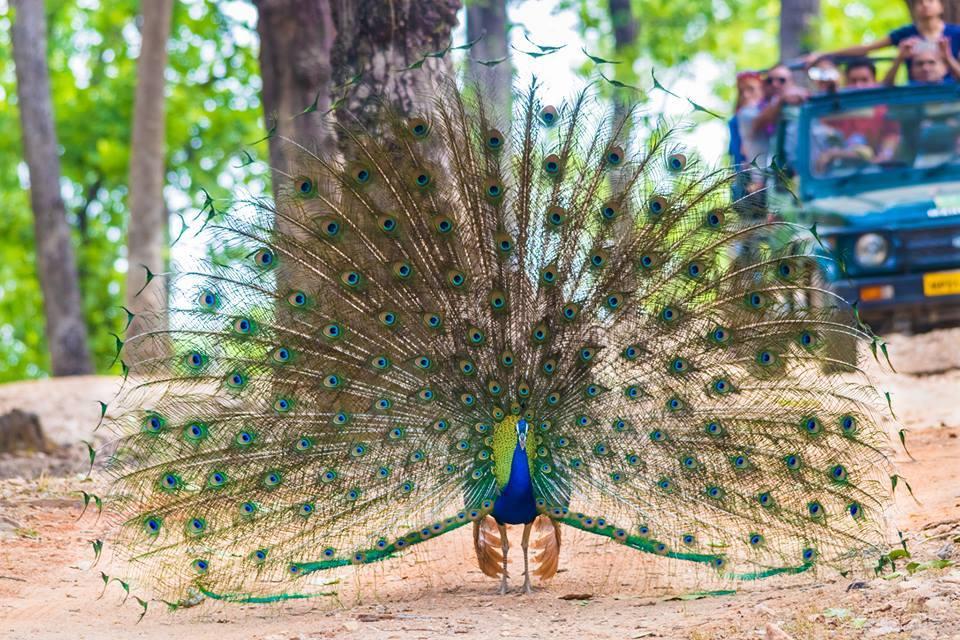 Kanha Tiger Reserve Peacock