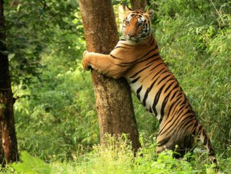 Kanha Tiger Reserve and National Paek