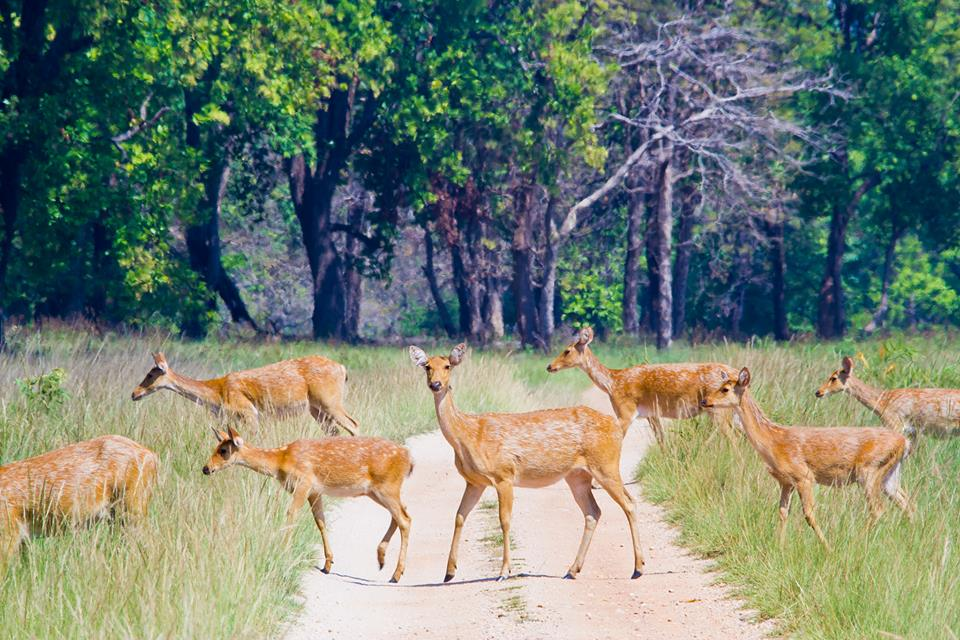 Deer Herd at Kanha Tiger Reserve