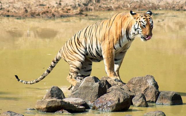 Panna Tiger Reserve – History and Information