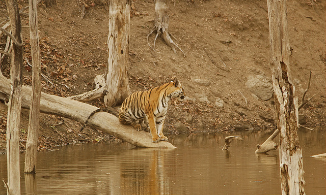 Pench Tiger Reserve & National Park – Maharashtra & MP