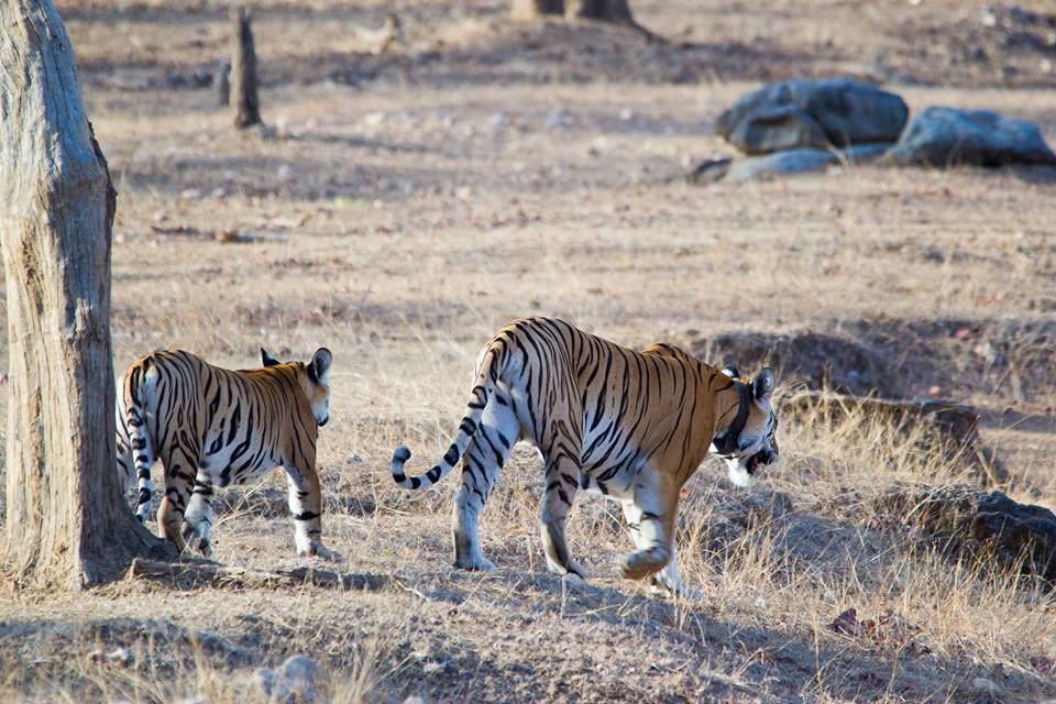 Pench Tiger Reserve - Collerwali Tigres