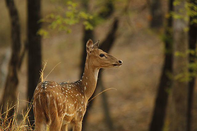 Spotted Deer, Pench