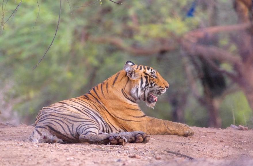 Royal Bengal Tiger at Ranthambore National Park