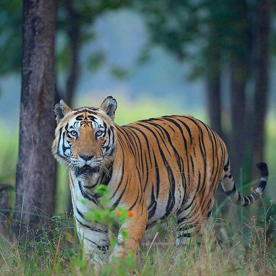 Royal Bengal Tiger appearance