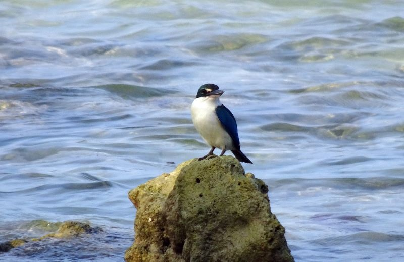 birds of andaman island