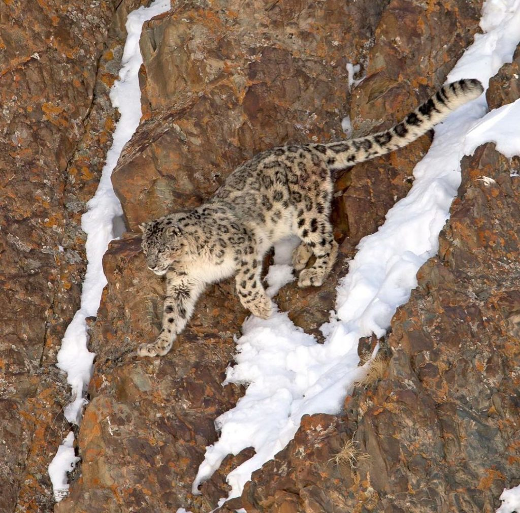 Hemis National Park Snow Leopard