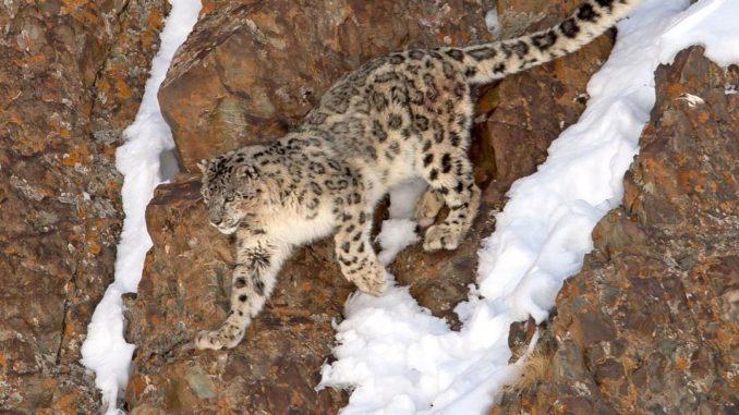 Hemis National Park - Snow Leopard