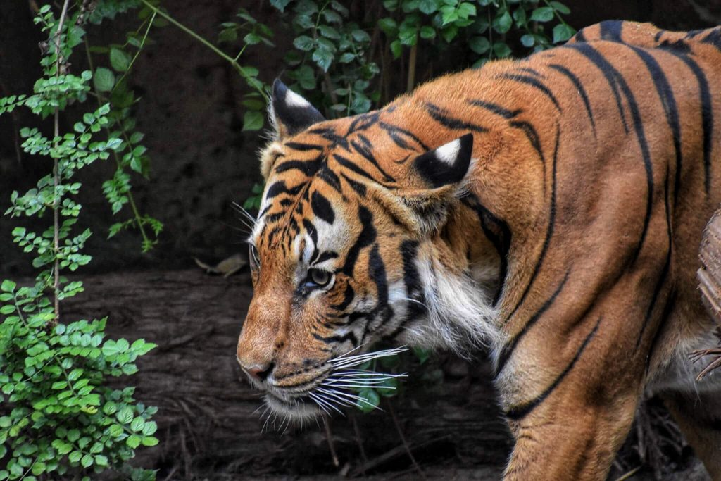 Royal Bengal Tiger Facts