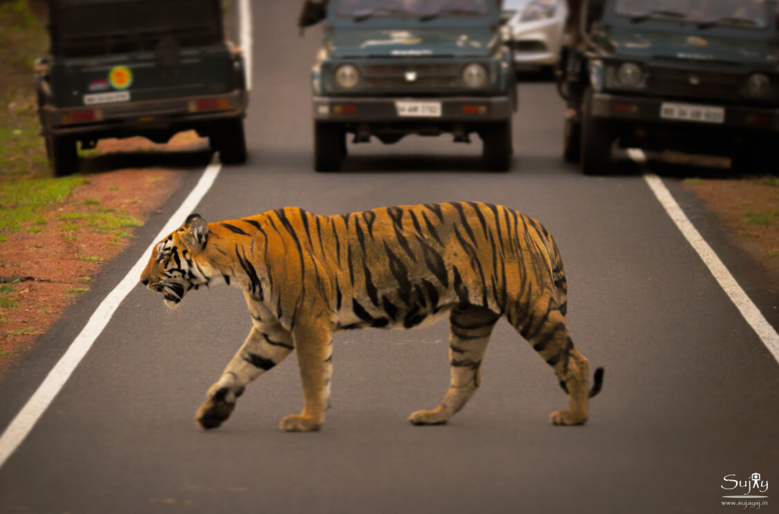 Top Tiger Reserves and Wildlife Sanctuaries near Nagpur for Tiger Safari