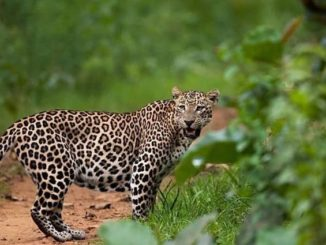 Leopard Cat in India