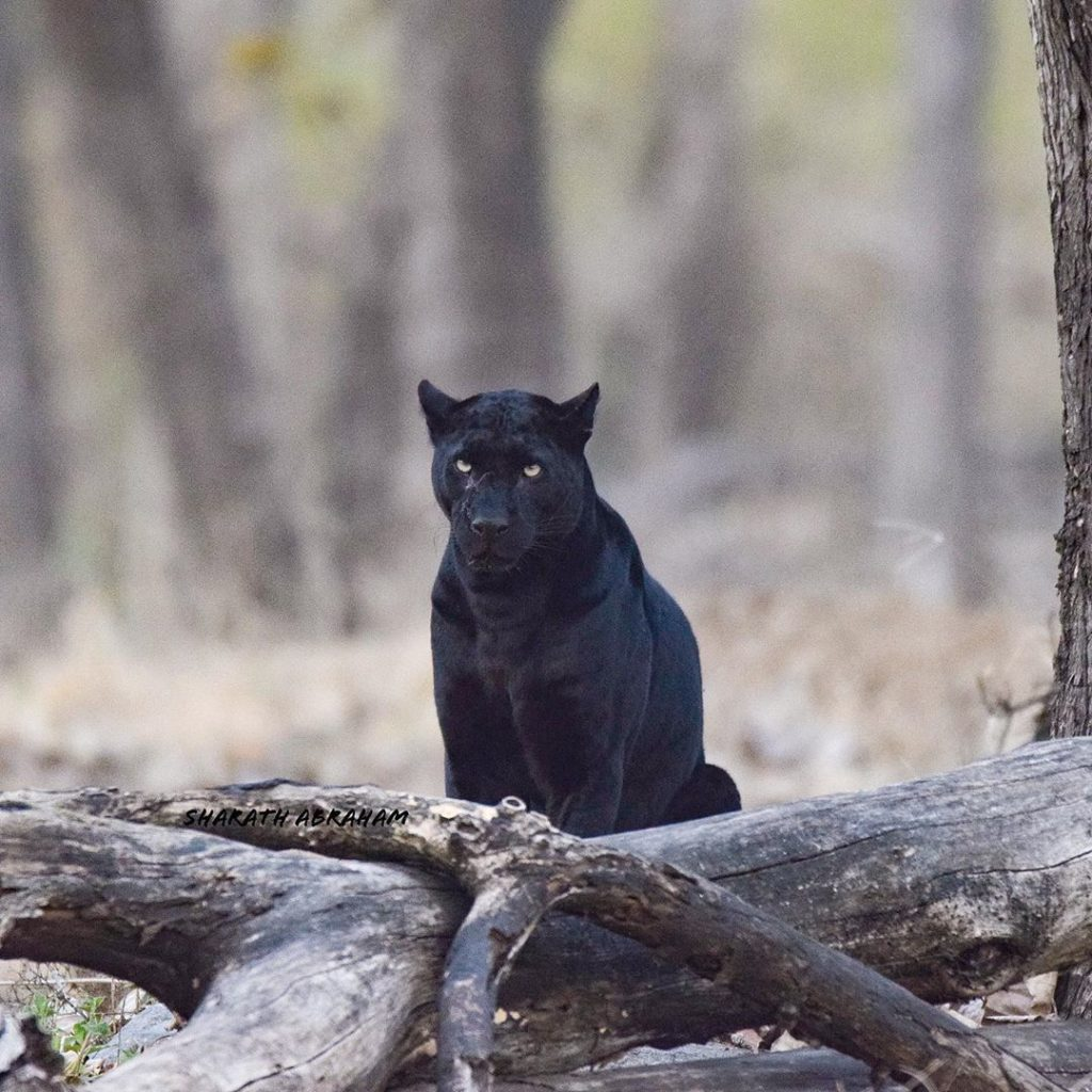 Black Panther in Kabini