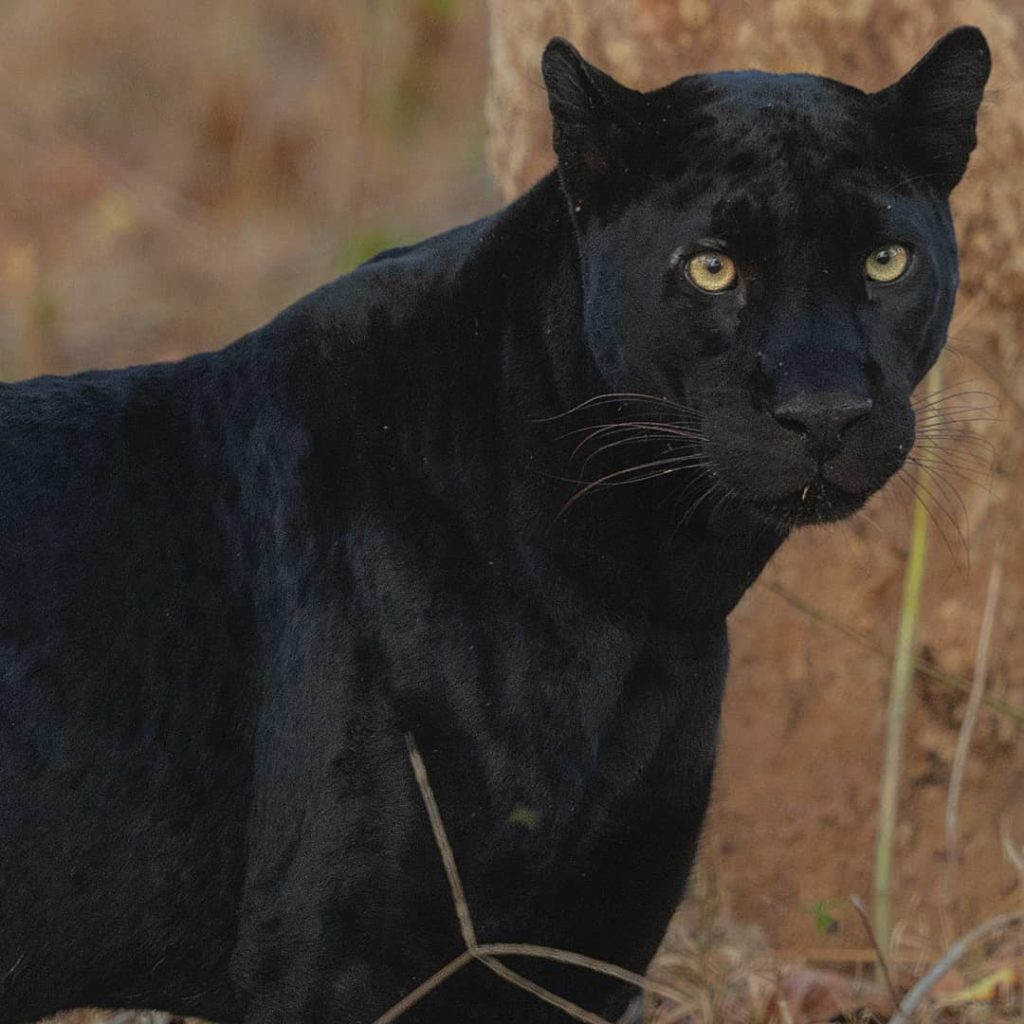 Black Panther in India
