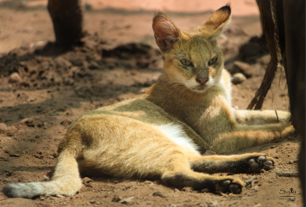 Jungle Cat at Bor Wildlife Sanctuary