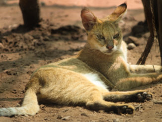 jungle-cat-bor-wildlife-sanctuary