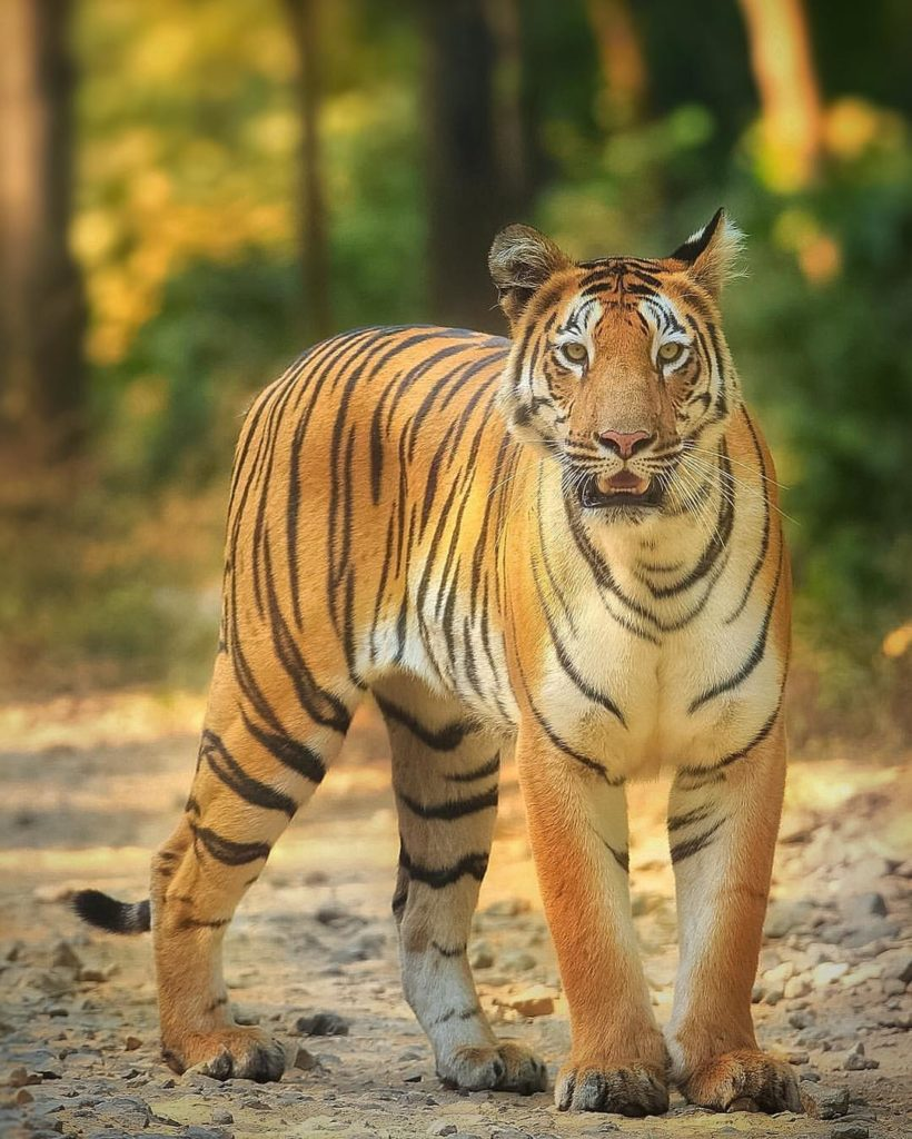 Project Tiger in India