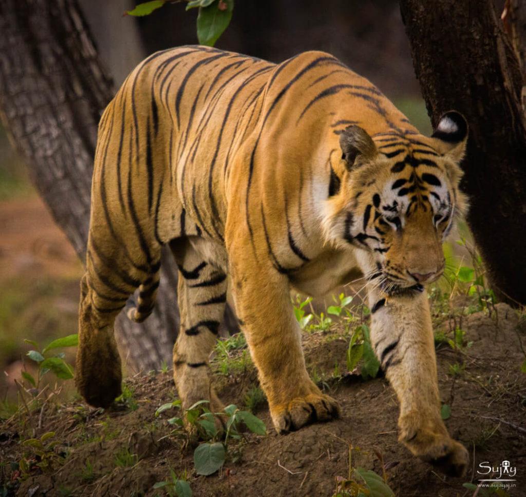 Tadoba Tiger Reserve Maharashtra
