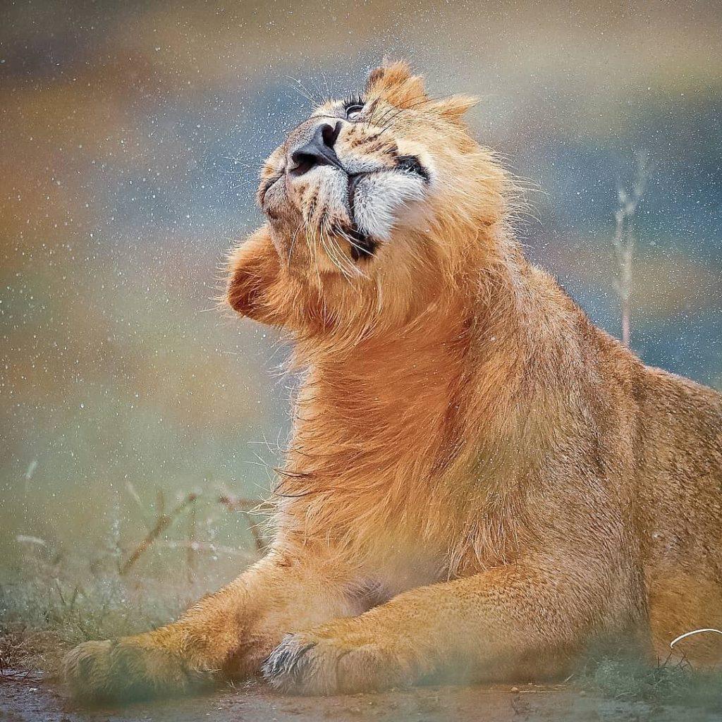 Asiatic Lion Cub Gir National Park