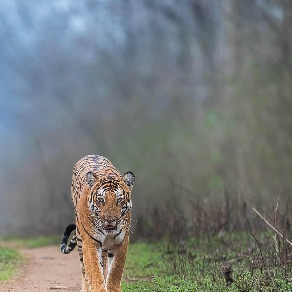 Big Cat Bengal Tiger