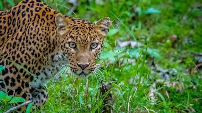 Leopard Big Cat