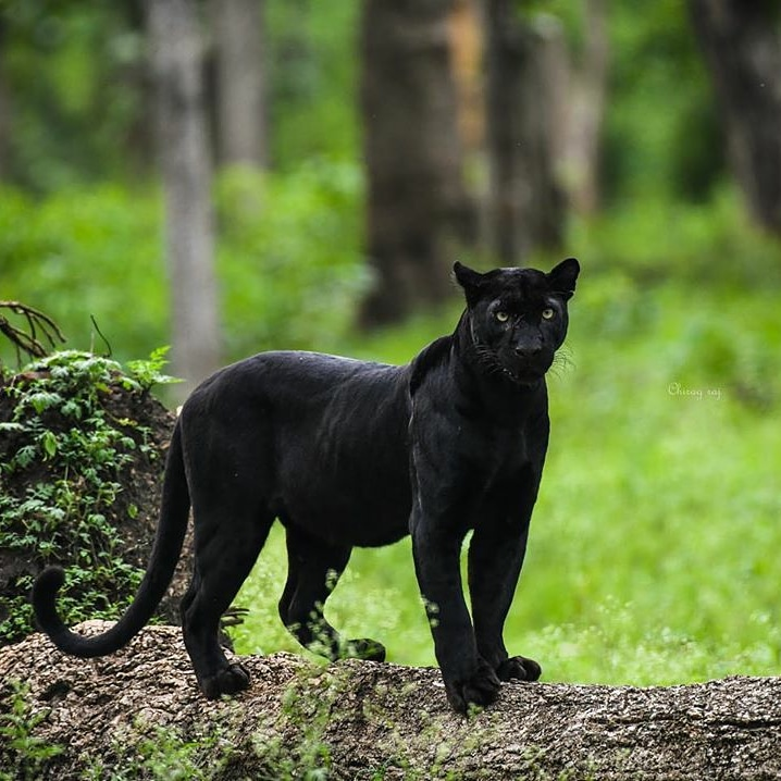 Black Panther Big Cat