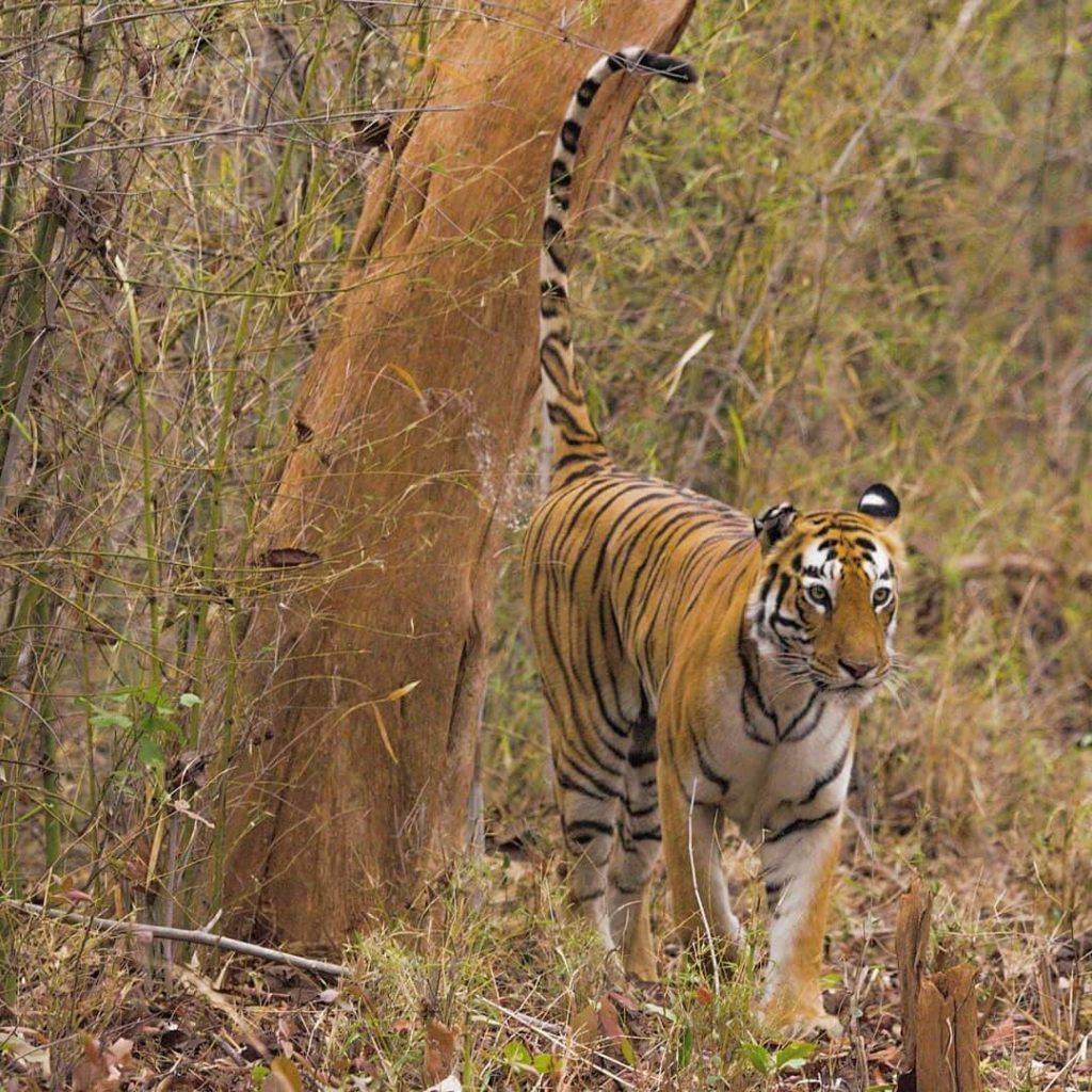 Tiger Marking Territory