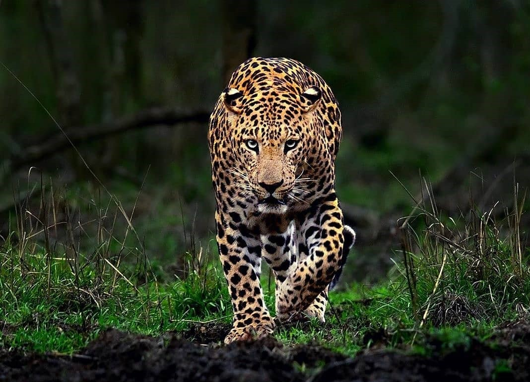 Leopard – Indian Leopard Important fact & information